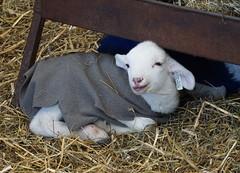 Blue and Gray (baalands) Tags: katahdin hair sheep lamb feeder coat jacket