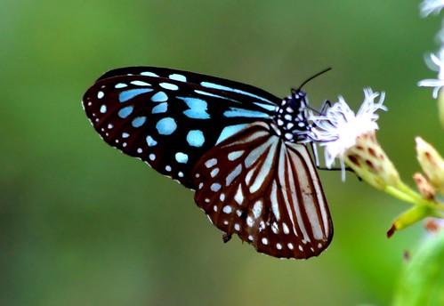 IMG_2097/Thailand/Koh Samui Island/Idéopsis Similis Persimilis/femelle/Verso