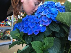 88/365 (boxbabe86) Tags: flower nature iphonography iphone greenthumbnursery santaclarita newhall day88 365days hydrangea flowers