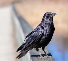 Excuse me sir, you're in my way (Wes Iversen) Tags: americancrow brighton corvusbrachyrhynchos fencefriday hff kensingtonmetropark michigan milford tamron150600mm birds crows fences nature railings