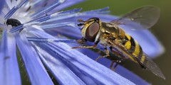 Hoverfly on blue flower - insect macro - Meadowvale Conservation Area, Mississauga, Ontario.. (edk7) Tags: nikond300 sigma150mm128apomacrodghsm edk7 2011 canada ontario mississauga meadowvaleconservationarea hoverfly insect macro animal nature flower leaf pollen syrphidaesp beetle