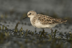 # Little Stint......... (Prem K Dev) Tags: little stint wader water wildlife wonderful plover plumage nature avian chennai chestnut colourful beautiful breeding bird pulicat lake lovely