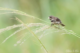 coleirinho (Sporophila caerulescens) - Double-collared Seedeater