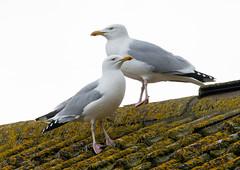 St Marys Herring gulls