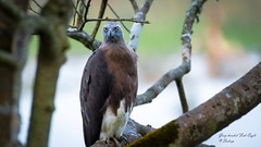 """Eye of the Eagle"" (Sudeep Nandi) Tags: raptor greyheadedfisheagle fisheagle stare yelloweyes birdsofindia bokeh wildlife birding beautifulcreature tree branches kaziranganp wildandfree forest birds"