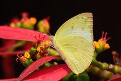 Lemon Emigrant, Catopsilia pomona (Oleg Nomad) Tags: непал трек дамфус сарангкот горы закат nepal damphus sarangkot trail asia travel