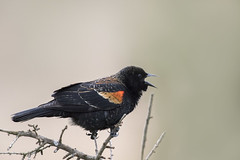 Red-winged Blackbird sings (Jan.Timmons) Tags: agelaiusphoeniceus pacificnorthwest sequoiatreebokeh singing redwingedblackbird 7dwf fauna