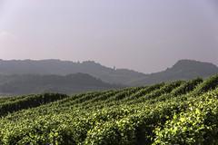 Terre del Barolo_Y3A9424 (candido33) Tags: barolo lamorra paesaggidelvino piemonte serradenari alba aurora filari vigne vigneti vitigni