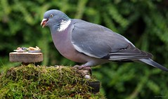 pigeon with table good (4) (Simon Dell Photography) Tags: pigeon garden detail close up large wood shirebrook valley sheffield nature wildlife birds animals spring views sights reserve s12 simon dell photography photos