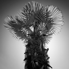 """Chinese Windmill Palm in Spring"" (helmet13) Tags: d800e raw bw flora tree tropical palmtree chinesewindmill backlight simplicity springtime aoi heartawards"