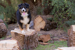 Dash the Lumberjack (Jasper's Human) Tags: aussie australianshepherd dog lumberjack