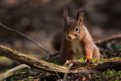 The elusive red (Pete Rowbottom, Wigan, UK) Tags: redsquirrel wildlife nature uk landscape wildbritain squirrel formby merseyside nationaltrust peterowbottom nikond750 woodland spring moss england longlens detail wild endangeredspecies sefton sunlight bokeh warmth woodlandfloor