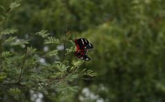 Crimson Rose (Pramod Bhardwaj) Tags: butterflies butterfly colorfulcountryside colorful colors green karnataka india indian chitte kannada red black lushgreen