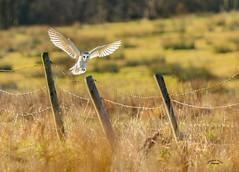 Tyto Alba.... (wayne24185071) Tags: barnowl tytoalba birdofprey canon1dx