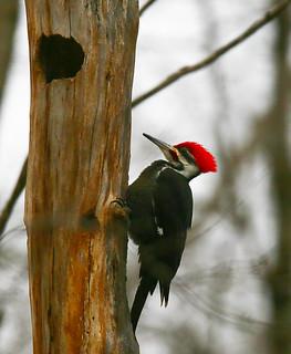 Pileated-Woodpecker-65w