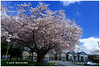 Carbon Free Cherry Blossoms - Blundell XT5627e (Harris Hui (in search of light)) Tags: harrishui fujixt1 digitalmirrorlesscamera fuji fujifilm vancouver richmond bc canada vancouverdslrshooter mirrorless fujixambassador xt1 fujixcamera fujixseries fujix fuji1024mmf4 fujizoomlens cherryblossoms nocarbonfootprint carbonfree blossoms spring cherry neighbourhood polarizer polarizingfilter wideangle city urban vancouvercherryblossoms richmondcherryblossoms carbonfreephotography school season