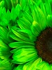 Green Petals (Scorpiol13) Tags: pattern form seeds texture freshness growth fragility delicate bloom brightlycolored neoncolor vibrance upclose macro floral sunflower petals flower green