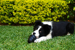 Border Collie (eduardolozano1) Tags: dog perro kong border collie black white toy juguete pasto verde