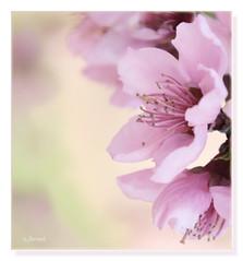 Walking under the peach trees blossom (c.ferrol) Tags: peach trees flower blossom pink spring primavera rosa flor floración melocotón melocotonero tonos pastel suave cálida