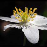 Anemone nemorosa thumbnail