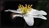 Anemone nemorosa (Harald52) Tags: buschwindröschen blüte pflanze natur weisgelb onblack