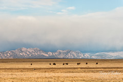 Bison and the Flatirons