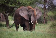 Tower of Power (ashockenberry) Tags: elephant nature naturephotography wildlife wildlifephotography african tusks ivory pachyderm ears tanzania safaria grassland savanna safari travel east africa ashleyhockenberryphotography