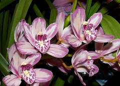 #48 in a series: the 2018 pacific orchid exposition; Cymbidium Mainstem 'Stars & Stripes' hybrid orchid 2-18 (nolehace) Tags: cymbidium mainstem starsstripes hybrid orchid 218 flower bloom plant winter nolehace sanfrancisco fz1000 sfos poe pacificorchidexposition pacific exposition 2018 goldengatepark