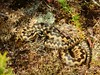 Adder (Vipera berus) (Nick Dobbs) Tags: adders vipera berus reptile snake heath heathland hibernation emergence basking dorset venomous venom viper
