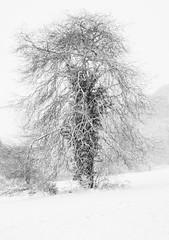 Primley Park in the Snow (i) (Ray. Hines) Tags: pentaxk5 smcpentaxda18135mmf3556edalifdcwr snow tree white primleypark paignton devon