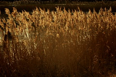 A bit of warmth in the cold (Biscuits1960 (DaveG)) Tags: reeds water lake grasses winter cold gold
