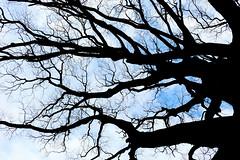 tree (tanaka0511) Tags: kyoto goen kyotogoen shadow blue silhouette tree thunder lightning