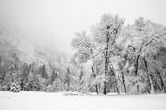 Oaks and Meadow After a Snowstorm (Kurt Lawson) Tags: black blackoak california covered fresh granite meadow national nevada oak park pine sierra snow snowstorm storm trees valley winter yosemite
