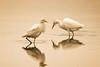 Cattle Egret  (Bubulcus ibis) (DL Photo) Tags: bird bubulcusibis cattleegret hawaii kauai nature wildlife