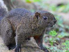 Pallas's squirrel in Taiwan (Gomen S) Tags: animal wildlife nature taiwan taipei spring 2018 80400mm d500 nikon asia tropical mammal squirrel