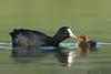 Eurasian Coot with chick (Fulica atra Linnaeus) (mikullashbee) Tags: eurasiancoot coot waterfowl rail fulicaatralinnaeus newzealand christchurchbirds nikon