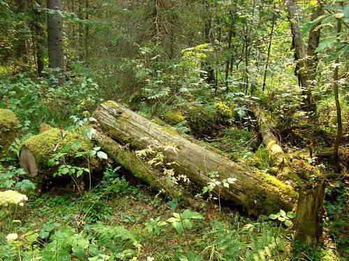 Лес в Оленьих ручьях