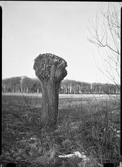 icauniversal230318-2 (salparadise666) Tags: ica universal palmos 275 9x12 pololyt 135mm fomapan 10064 caffenol cl 45min nils volkmer vintage large format analogue film plate view camera vertical landscape nature tree rural dof hannover region niedersachsen germany north german plains lowlands