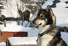 norsk (e_m_b_r_y) Tags: winter norway norsk husky north cold hund tromsø