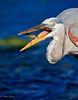 Down the Hatch (dngovoni) Tags: action background bird fish florida greatblueheron heron orlandowetlands water wildlife