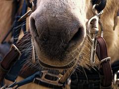 Avez-vous du nez ? - Do you have flair ? (p.franche Occupé - Buzzy) Tags: nez nose donkey âne bride poils panasonic lumix fz200 bruxellesbrussel brussels belgium belgique belgïe europe pfranche pascalfranche hdr dxo phototab flickrelite schaerbeek schaarbeek yourbestoftoday parcjosaphat josaphatpark cuir camille