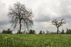 RAGOGNA. PRATO IN FIORE. (FRANCO600D) Tags: ragogna collina alberi piante stagione fiori prato inverno