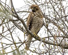 Death waits among the twigs (Hockey.Lover) Tags: redshoulderedhawk birds lakemerritt explore