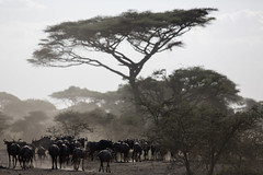 A biblical setting (Ring a Ding Ding) Tags: africa canon300mmf28 ndutu nomad serengeti sunset tanzania herd migration nature safari wildebeest wildlife arusharegion coth coth5 ngc