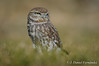 Una fria mañana (Dani (Atrus)) Tags: mochuelo mochueloeuropeo littleowl athenenoctua jdanielfernández elrincóndelosprotegidos españa spain madrid aves birds naturaleza nikon fauna