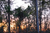 Trees At Sunset. (dccradio) Tags: lumberton nc northcarolina robesoncounty outside outdoors evening lateafternoon dusk sky bluesky colorfulsky eveningsky tree trees treelimbs treebranches woods wooded forest backyard branches branch sticks nature natural nikon d40 dslr sunset settingsun