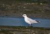 La Haute folie-60 (Philippe Chaumel) Tags: oiseaux mouette