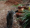 Camille (rootcrop54) Tags: camille tabby female flower garden striped stripes neko macska kedi 猫 kočka kissa γάτα köttur kucing gatto 고양이 kaķis katė katt katze katzen kot кошка mačka gatos maček kitteh chat ネコ