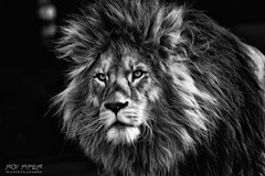 Lion: Monochrome Oil Paint Edit (Roy Pyper) Tags: animals blackandwhite lion monochrome oilpaint photography photoshop