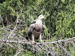 Young Bald Eagle  IMG_6905 (PRS North Star) Tags: baldeagle immaturebaldeagle raptors birdsofprey blackmoshannonstatepark baldeagles